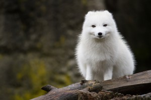 Polarfuchs in der Arktis Foto: shutterstock/Andrew S. Williams